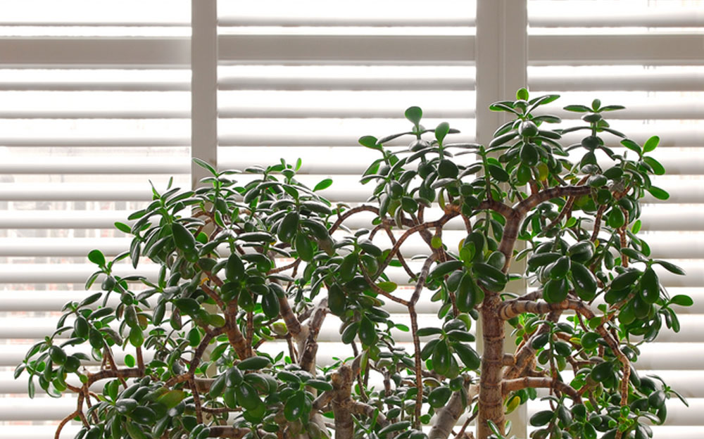 House plant jade tree in a pot and glass wall with blinds, Image by Shutters Australia